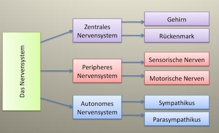 Einteilung des Nervensystems? | Yahoo Answers